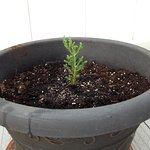 "Giant Sequoia, 4"" tall. After 3 months in this pot on our deck, it is 5"" tall and 6"" wide !"