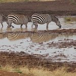So many zebras all with a different configuration of stripe.
