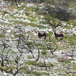 Brontebock grazing