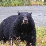 Bear on Whistler Mountain