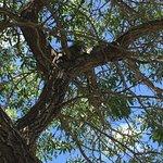 Huge resident iguana up a tree