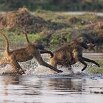 Linyanti, Baboons in panic to get safely across the water