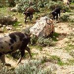 Wild boars everywhere