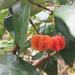 Fruta Pitanga del jardín