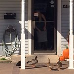 Ducks Calling For Their Snack at the Front Door
