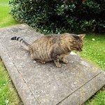 Maybe the Bishops cat, very friendly large Tabby