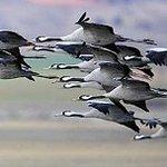 Gran paso de aves migratorias, como grullas, cigüeñas, avutardas...