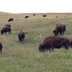 Buffalo herds