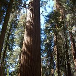 Giant sequoia tree - Giant Forest Trail - Sequoia National Park
