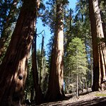 Giant sequoia trees - Giant Forest Trail - Sequoia National Park