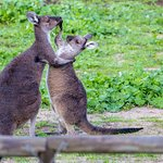 Kangaroos playing (On Kangaroo Safari)