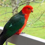 Parrot on our Balcony.