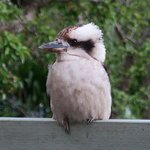 Friendly Kookaburra on the cottage deck.