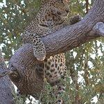 Tsala - beautiful female leopard surveying her kingdom