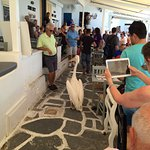 Petros the pelican heading for his lunch, Veranda Cafe, Mykonos