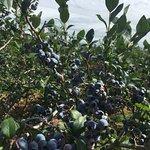 Plenty of Blueberries!