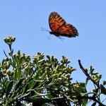 Monarch along nature trail