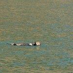 Fischfressender Seeotter