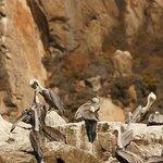 Pelikane auf Steinen