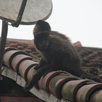 Capuchin monkey on restaurant roof