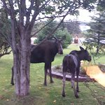 Local moose eating our shrubs! 😊