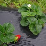 Strawberry flower and fruit on the bed