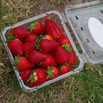 Picking of the farm fresh and chemical free strawberries