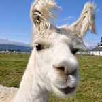 Get up close to a llama