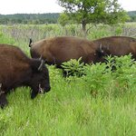 Wild bison at Minneopa State Park
