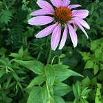 Coneflowers at Minnneopa State Park