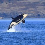 Orca breaching. This was the photo I wanted most to get on this trip!