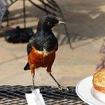 Superb Starling at Breakfast