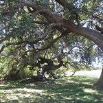 Live Oak trees along The Perdanales River