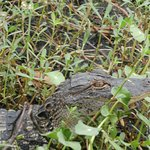 Basking gator