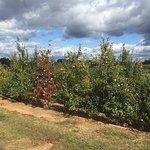 Foto de Mercier Orchards