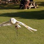 Barn owl display