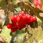 Great autumn berries in the hedgerows