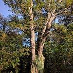 Knightwood Oak Tree on Bolderwood Ornamental Drive