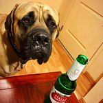 #BOAZtheMastiff says cheers with daddy's beer =) Thank you everyone who made our stay so very sp