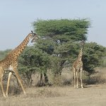 Ndutu Safari Lodge Foto