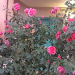Rose flowers@ My room entrance