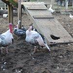 Turkey and hen