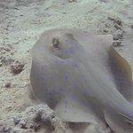 Snorkelling - Bluespot Ray