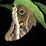 Owl butterfly.  see the snake head imitations?