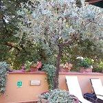 Planta de oliveira em vaso