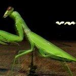 Grasshopper at Star of Nanchang (unusual visitor)
