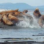 Sea Lions in Haro Strait