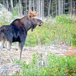 A young bull moose! Thanks Trevor!