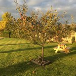 Apple tree with delicious apples