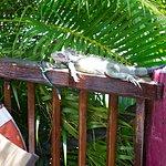 Iguana at Molly Malone's